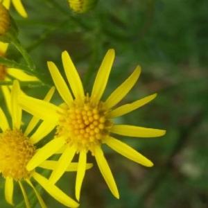 Photographie n°2192547 du taxon Jacobaea vulgaris Gaertn. [1791]