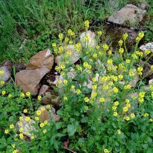 Photographie n°2192675 du taxon Barbarea vulgaris R.Br.