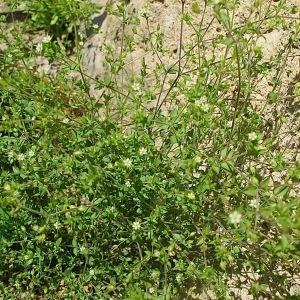 Photographie n°2192944 du taxon Arenaria serpyllifolia L. [1753]
