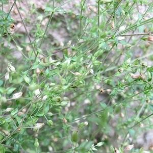 Photographie n°2192945 du taxon Arenaria serpyllifolia L. [1753]