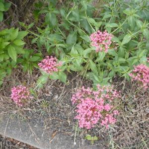 Photographie n°2193125 du taxon Centranthe lilas-d'Espagne