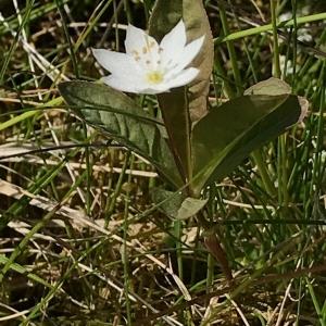 Photographie n°2193467 du taxon Lysimachia europaea (L.) U.Manns & Anderb. [2009]