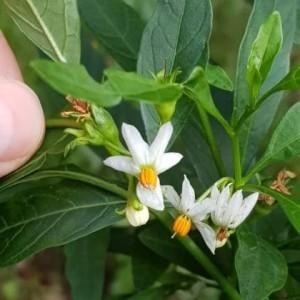 - Solanum pseudocapsicum L.