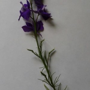 - Delphinium ajacis L. [1753]