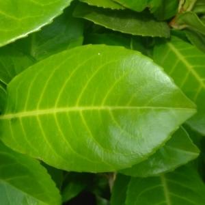 - Prunus laurocerasus L.