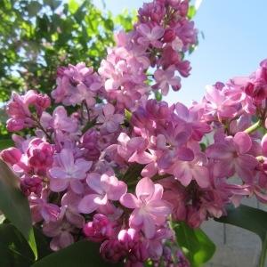 Syringa vulgaris var. alba Aiton (Lilas)