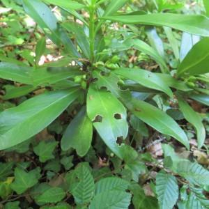 Photographie n°2193771 du taxon Daphne laureola L. [1753]