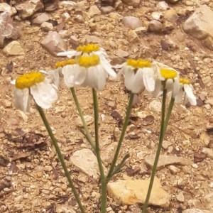 Photographie n°2193836 du taxon Tanacetum corymbosum (L.) Sch.Bip. [1844]