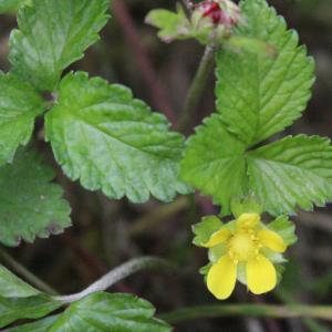 Photographie n°2194022 du taxon Potentilla indica (Andrews) Th.Wolf [1904]