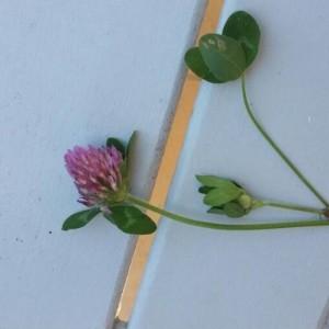 Photographie n°2194417 du taxon Trifolium pratense L. [1753]