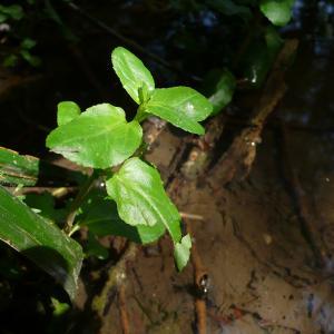 Photographie n°2194986 du taxon Veronica beccabunga L.