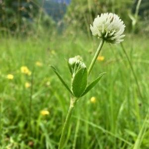 Photographie n°2195385 du taxon Trifolium montanum L. [1753]