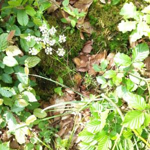 Photographie n°2195448 du taxon Conopodium majus (Gouan) Loret