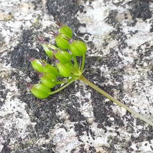 Photographie n°2195452 du taxon Conopodium majus (Gouan) Loret