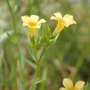 Photographie n°2195839 du taxon Linum strictum L.