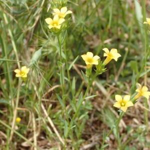 Photographie n°2195840 du taxon Linum strictum L.