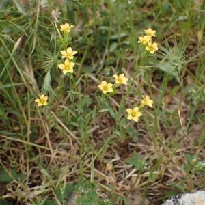 Photographie n°2195841 du taxon Linum strictum L.
