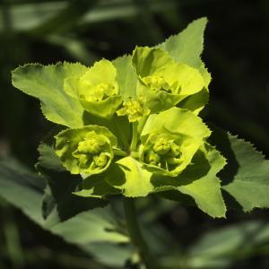 Photographie n°2195947 du taxon Euphorbia serrata L. [1753]