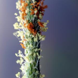 Photographie n°2196067 du taxon Alopecurus aequalis Sobol.