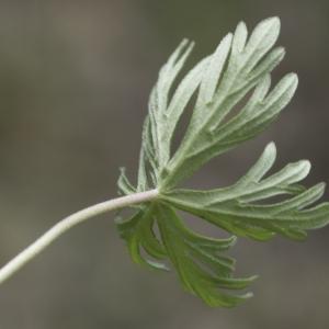 Photographie n°2196098 du taxon Geranium columbinum L.