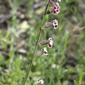 Photographie n°2196166 du taxon Silene gallica L. [1753]