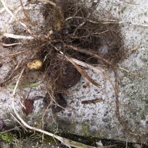 Photographie n°2196375 du taxon Solanum tuberosum L. [1753]