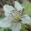 Laetitia Hespel - Rubus ulmifolius Schott [1818]