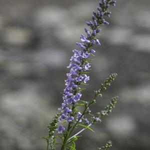Photographie n°2196524 du taxon Anarrhinum bellidifolium (L.) Willd.