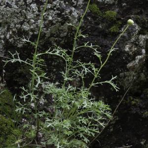 Photographie n°2196557 du taxon Leucanthemum monspeliense (L.) H.J.Coste [1903]