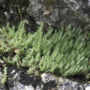 Photographie n°2196573 du taxon Sedum rupestre L. [1753]