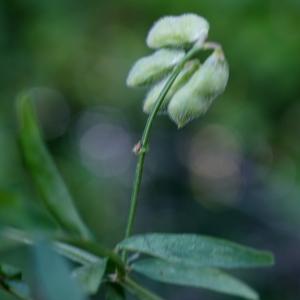 Photographie n°2196737 du taxon Ervilia hirsuta (L.) Opiz [1852]