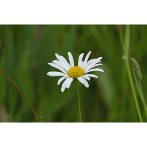 Leucanthemum ircutianum DC. (Marguerite)