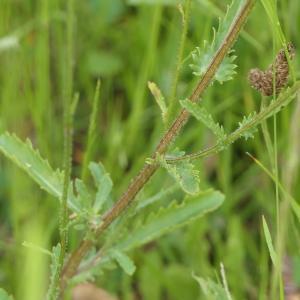 Photographie n°2196784 du taxon Leucanthemum ircutianum DC. [1838]