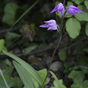 Photographie n°2196823 du taxon Cephalanthera rubra (L.) Rich. [1817]