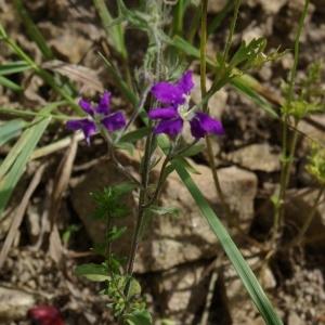 Photographie n°2196880 du taxon Legousia speculum-veneris (L.) Chaix