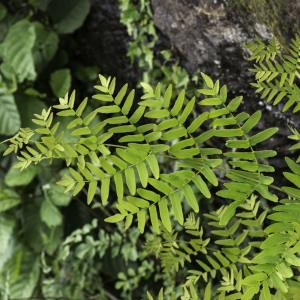 Photographie n°2196942 du taxon Osmunda regalis L. [1753]