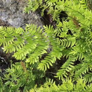 Photographie n°2196951 du taxon Osmunda regalis L. [1753]