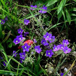 Photographie n°2197103 du taxon Legousia speculum-veneris (L.) Chaix