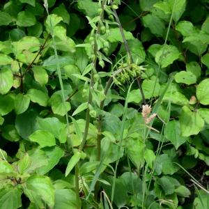 Photographie n°2197106 du taxon Epipactis rhodanensis Gévaudan & Robatsch [1994]