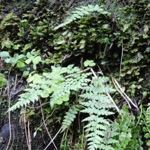 Photographie n°2197171 du taxon Asplenium adiantum-nigrum L.