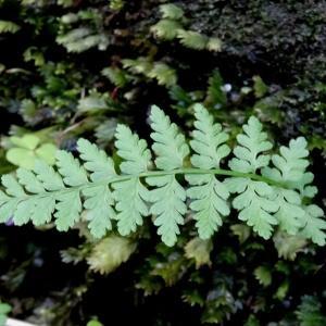 Photographie n°2197173 du taxon Asplenium adiantum-nigrum L.