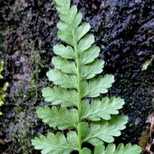 Photographie n°2197174 du taxon Asplenium adiantum-nigrum L.