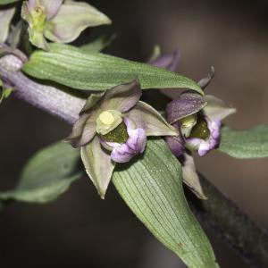 Epipactis helleborine (L.) Crantz (Épipactis à larges feuilles)