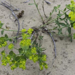 Photographie n°2197341 du taxon Euphorbia serrata L. [1753]