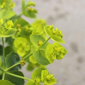 Photographie n°2197343 du taxon Euphorbia serrata L. [1753]