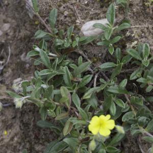 Photographie n°2197355 du taxon Helianthemum canum (L.) Baumg. [1816]