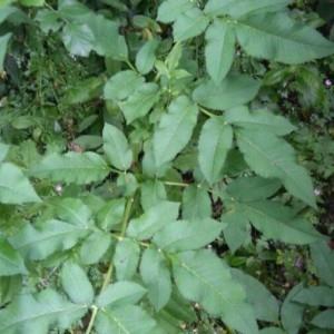 Photographie n°2197603 du taxon Angelica sylvestris L. [1753]