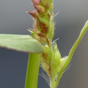 Photographie n°2197660 du taxon Echinochloa crus-galli (L.) P.Beauv.