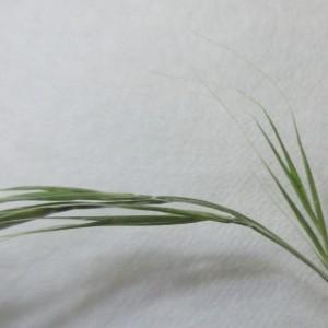 - Vulpia myuros Rchb.