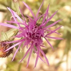 Photographie n°2198054 du taxon Centaurea paniculata L. [1753]